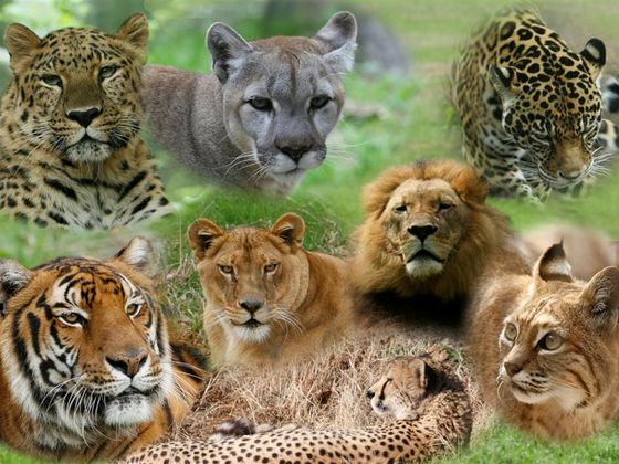 which big cat are you
